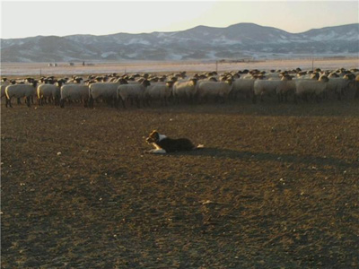 Haugen Sheep, San Luis Valley, Colorado